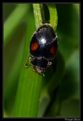 Scymnus sp. (Scymnus schmidti ?) mâle (cquintin) Tags: arthropoda coleoptera coccinellidae côtedor schmidti scymnus macroinsectes scymninae