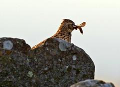 Eurasian Skylark ( alauda arvensis ) - Supper is ready !! (Mid Glam Sam1) Tags: songbird upland mountain dusk twilight skylark drystonewall moth wales alaudaarvensis