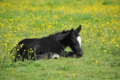 Black and gold (PhotoCet) Tags: photocet horse horses pferd cheval caballo cavallo hestur foal cob gypsycob buttercups sleeping black
