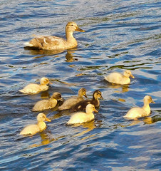 a busy Mum and her multicultural family of 8 (watergypsyrach) Tags: duck ducklings mexbrough rotherham southyorkshire southyorkshirenavigation uk england nature nikoncoolpixs7000 canal