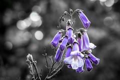 Jacaranda Mimosifolia (Daniel.Peter) Tags: purple blossom violet lila lilac jacaranda violett blten jacarandamimosifolia palisanderholzbaum dpe3x