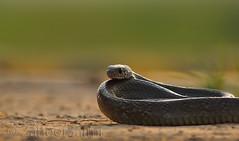 Rat snakes (Zahoor-Salmi) Tags: camera pakistan 2 macro nature birds animals canon lens photo tv google flickr natural action mark wildlife watch bbc 7d punjab discovery wwf salmi walpapers chanals beutty bhalwal zahoorsalmi