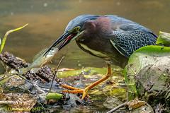 Lunch is served! (danielusescanon) Tags: greenheron fishing eating butoridesvirescens buddyattickpark maryland birdperfect animalplanet