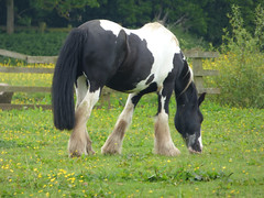 Painted (Lexie's Mum) Tags: dog nature walking countryside pony piebald lester wak weddington