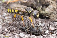 Digger wasp weevil tomb III (Dom Greves) Tags: behaviour cercerisarenaria dorset heathland insect invertebrate july prey purbeck sandtaileddiggerwasp summer uk weevil wildlife hymenoptera