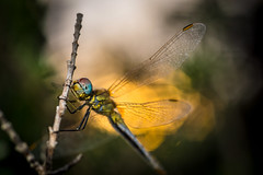 Dragonfly at sunset (David Parody) Tags: david m parody 2014