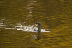 Shag on the Lagan (jon lees - moving) Tags: marine coastal cormorant britishwildlife phalacrocoraxaristotelis irishwildlife commonshag rockycoasts greencormorant theeuropeanshag westernandsoutherneurope southwestasiaandnorthafrica benethicfeeders