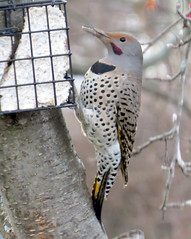 Yellow-shafted male (intergrade) (diffuse) Tags: male bird backyard eating suet flicker northernflicker yellowshafted 14nov23a