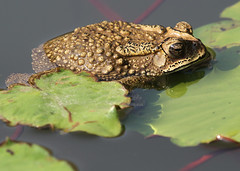 Asian Common Toad (Wild Chroma) Tags: thailand bangkok toad bufonidae melanostictus duttaphrynus duttaphrynusmelanostictus