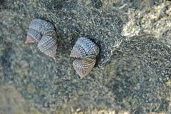 Tectarius muricatus (beaded periwinkle snails) on phytokarst (San Salvador Island, Bahamas) 2