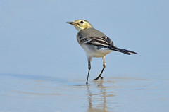 Passeando na gua - Walking on water (Yako36) Tags: bird portugal ave birdwatching peniche tc14e nikonafs300f4 nikond7000