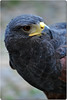 "Bird of prey (wallace39 "" mud and glory "") Tags: bird birdofprey uccello autofocus rapace rememberthatmomentlevel4 rememberthatmomentlevel1 rememberthatmomentlevel2 rememberthatmomentlevel3 rememberthatmomentlevel7 rememberthatmomentlevel9 rememberthatmomentlevel5 rememberthatmomentlevel6 rememberthatmomentlevel8 rememberthatmomentlevel10"