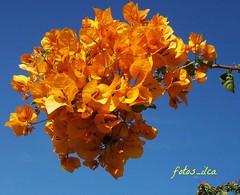 Buganvílias (fotos_ilca) Tags: flowers flores portugal 2014 buganvílias flowerwatcher floresbugambiliasveraneras fotosilca thebestofday gününeniyisi flowersarefabulous flowerarebeautiful gününeniyisithebestofdaygününeniyisi