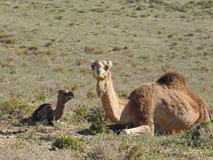 New Born (farahleon) Tags: dromedary camel morocco maroc newborn marokko dromedar dromedaire