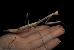 Archimantis Latistyla - Large Brown Mantid - QLD (Spidergirl94) Tags: macro brisbane qld shea invert invertebrate spidergirl brownmantis archimantis brownmantid latistyla alatistyla