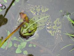 Froschteich (rainer.marx) Tags: leica lumix panasonic teich frosch fz30 lengerich