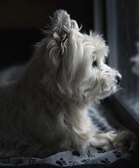 winter blues (paulh192) Tags: family dog pet animal mediumformat kirby lowlight candid westie naturallight canine terrier westhighlandwhiteterrier