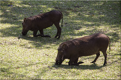 JABALIES en PN. CHOBE (Fotocruzm) Tags: africa botswana jabalies deltadelokavango fotocruzm mcruzmatia agoniasokango2014 parquenacionaldelchobe pndelchobe