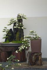 (ddsnet) Tags: travel plant flower japan sony cybershot  nippon   chrysanthemum nihon  backpackers         rx10 hygoken    flowerinjapan