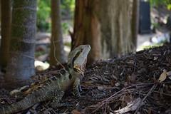 GOLD COAST AUSTRALIE (Island_spirit) Tags: sony 7 alpha paysage animaux couleur australie lezard sauvage
