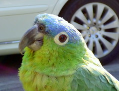 Lorito Little Parrot (Raul Jaso) Tags: color colour bird look birds animal animals mexico colorful colore parrot aves colores panasonic uccelli ave pajaros looks animales pajaro mirada colori animali animale loro uccello colorido loros miradas perico littleparrot lorito loritos dmcfh8 panasonicdmcfh8