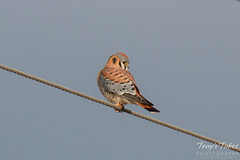 Male American Kestrel on a wire