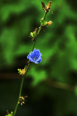 Blue Flower (haidarism (Ahmed Alhaidari)) Tags: blue flower nature branch sony alpha زهرة طبيعة a65 نبات زرقاء سوني غصن ألفا