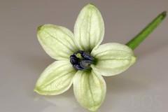 Capsicum chinense 'Seven Pod' (Pterodactylus69) Tags: flower flor pollen blte stigma anther pollination herrenhusergrten narbe berggarten bltenstaub anthere bestubung staubblatt herrenhausengardens griffel