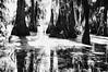 71 (kylen.louanne) Tags: portrait nature cat louisiana alligator gators bayou swamp cypresstrees lakemartin breauxbridge swampcat