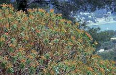 Baum-Wolfsmilch (Euphorbia dendroides). (fotoculus) Tags: españa flora 1988 mallorca spanien portosoller diascans