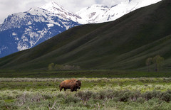 Buff at Black Tail Butte (laura's POV) Tags: mountains nature nationalpark spring buffalo butte jackson rockymountains wyoming tetons bison jacksonhole gtnp grosventre blacktailbutte lauraspointofview lauraspov