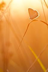 IMG_7461-2 (adrien.pcctt) Tags: papillon insecte argusbleu