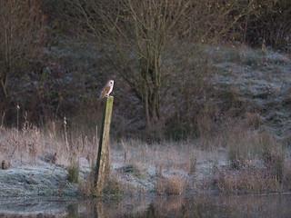 Barn Owl - Late Autumn Morning