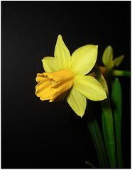 Pops! (shumpei_sano_exp6) Tags: flowers flower macro nature yellow flora daffodil macros masterphotos