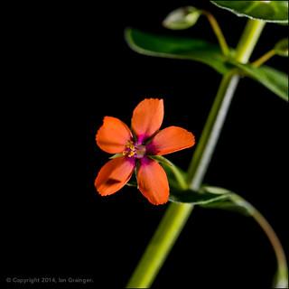 87/100 - Scarlet Pimpernel