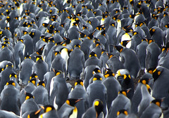 King Penguins, a large group. (Sallyrango) Tags: nature birds pinguinos penguins wildlife seabirds kingpenguins southatlantic volunteerpoint lasmalvinas colourfulbirds thefalklands wildpenguins