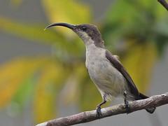Loten's Sunbird (F) (SivamDesign) Tags: bird fauna female canon eos rebel kiss 300mm tele x4 sunbird lotenssunbird nectarinialotenia cinnyrislotenius 550d canonef300mmf4lisusm lotens t2i