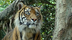 Tiger at Taronga Zoo - Sydney, Australia (boeckli) Tags: animal cat zoo eyes outdoor tiger ngc sydney australia npc bigcat tier taronga