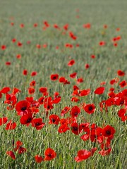 Decrescendo ** (Titole) Tags: field poppies coquelicots friendlychallenges thechallengefactory titole nicolefaton