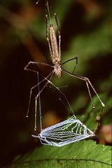 Net Throwing Spider (Dinopis sp.) (tepuisimon) Tags: macro net spider guyana throwing arachnida araneae dinopis