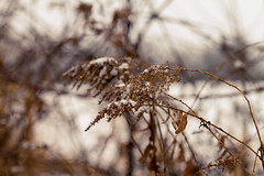 Blurred Lines (Pics by Abigail) Tags: winter snow blur cold nature lines canon dead outdoors golden weeds bokeh snowy goldenrod 7d streaks tamron2875 tamron2875mmf28 tamronlens lovelydeadcrap