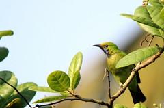 Leaf Bird (India from my Lens) Tags: india birds photography wildlife birdphotography wildlifephotography