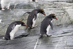 Macaroni Penguins (Baractus) Tags: elephant john point island penguin islands south antarctica le cape peninsula macaroni shetland oates antarctic boreal inthewakeofshackleton