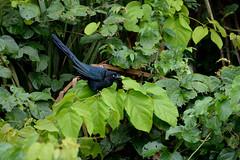 (Tingyu Om) Tags: bird peru puerto lago amazon rainforest per pjaro sandoval maldonado