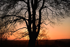 Beech silhouette 1 (ewen foster) Tags: trees winter sunset silhouette dorset d750 nationaltrust beech badburyrings