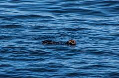 Sea Otter (Charlie Lee.) Tags: ocean usa america canon unitedstatesofamerica bigsur montereybay 17miledrive seaotter westcoast marinemammal centralcalifornia 미국 캐논 600d 캘리포니아 북미 서부 eos600d rebelt3i 미국서부