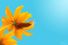 Caramujo na flor. (angela.macario) Tags: brazil flores sol azul brasil cores flor dia bicho caracol goiânia goiás ângela caramujo lesma molusco macário laranjado
