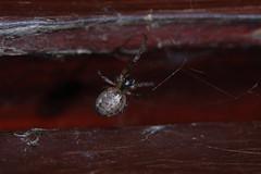 Braving the Frost (Procrustes2007) Tags: uk england spider suffolk britain wildlife arachnid flash nikond50 sudbury invertebrate wildlifephotography tamron2xteleconverter nikkor50mmais zygiellaxnotata missingsectororbweaver vivitarextensionrings68mmtotal d50nocturnalmacro