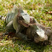 A fight between two males Green Iguana, Iguana iguana