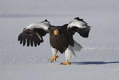Japan (richard.mcmanus.) Tags: japan lakefuren bird animal hokkaido stellersseaeagle eagle raptor wildlife ice winter birdofprey